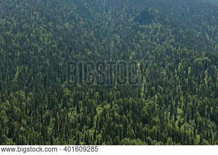 Healthy Green Trees In A Forest Of Old Spruce, Fir And Pine Trees In Wilderness Of A National Park.