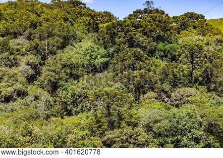 Araucaria Forest In Sao Francisco De Paula, Rio Grande Do Sul, Brazil