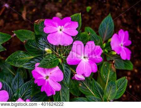 Beautiful Colorful Pink Busy Lizzie Flowers In Closeup, Popular Exotic Plant Specie From Africa