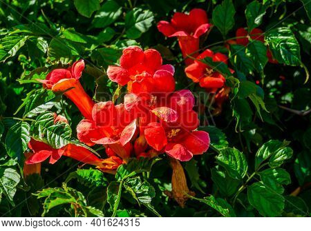 Beautiful Close Up Of The Flowers Of A Trumpet Vine, Popular Exotic Ornamental Plant Specie From Ame