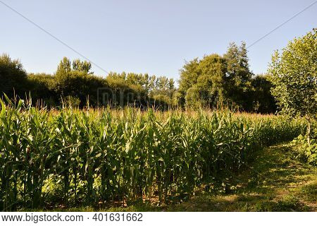Green Corn Field In The Late Afternoon With Ears Growing And Sun On The Surface Of The Reeds