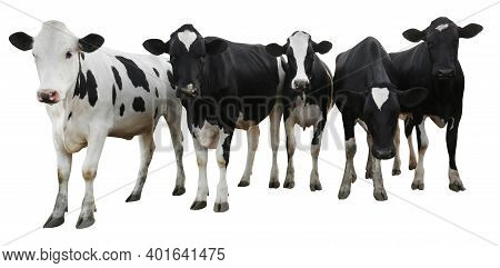 Cute Cows On White Background, Banner Design. Animal Husbandry