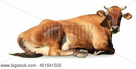 Cute Brown Cow Lying On White Background, Banner Design. Animal Husbandry