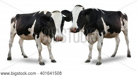 Cute Cows On White Background. Animal Husbandry