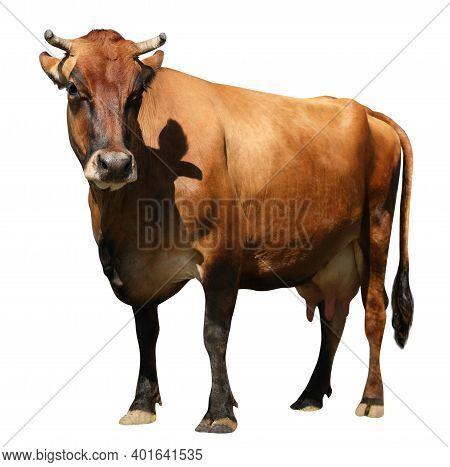 Cute Cow On White Background. Animal Husbandry