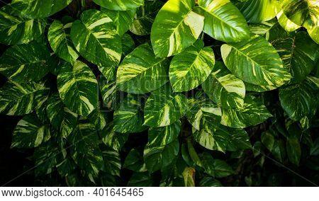 Variegated-philodendron Leaf Decoration Plants Or Epipremnum Pinnatum