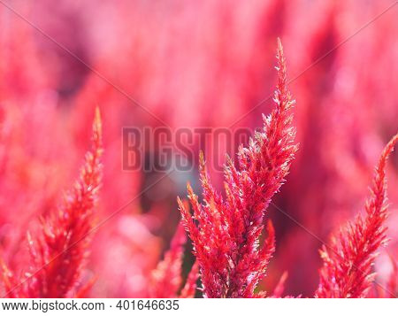 Cocks Comb, Foxtail Amaranth, Red Color Celosia Argentea Amaranthaceae Flowers Blooming In Garden Bl