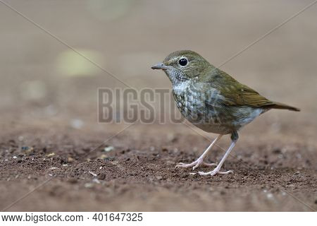 Lovely Brown Bird During Migrantion Season Living On Ground As Its Habitation, Rufous-tailed Robin