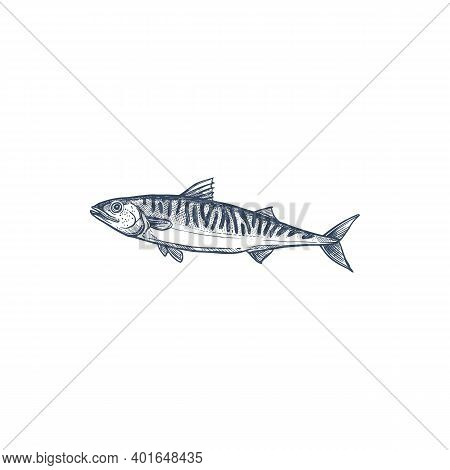 Pelagic Fish, Family Scombridae Isolated Mackerel Monochrome Sketch. Vector Atlantic Chub Wahoo Scom