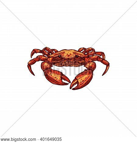 Crab Sketch Isolated Underwater Animal. Vector Marine Crustacean With Claws And Shell