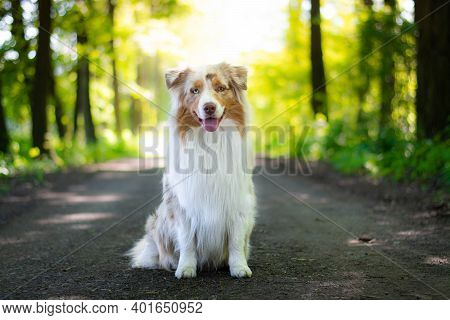 Beautiful Red Merle Australian Shepherd Dog Sitting On The Road In The Forest With Sun Behind Him.