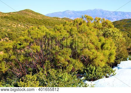Snow Besides Lush Chaparral Plants On A Rural High Desert Plateau Taken At The Arid Southern Califor