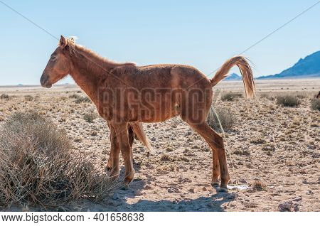 Wild Horse Of The Namib Mare Urinating. Photo Taken At Garub