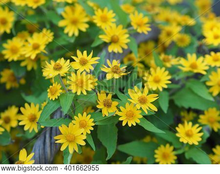 Common Daisy, Bellis Perennis, Dahlberg Daisy, Gold Carpet, Golden Fleece, Butter Daisy, Day's Eye,t