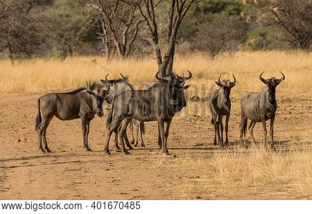 Wildebeests Standing A Small Group In The Savannah, Namibia