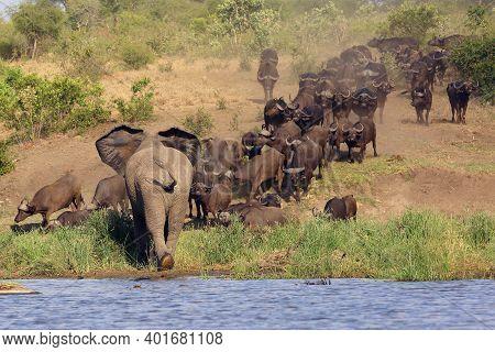The African Bush Elephant (loxodonta Africana) Attacking A Herd Of Buffalo African Buffalo Or Cape B