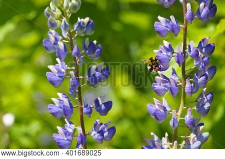 Bumblebee On Wildflowers. Lupinus Perennis, Against The Background Of A Green Meadow. Bumblebee Poll
