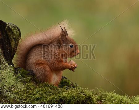 Right Facing Eurasian Red Squirrel Feeding On A Mossy Log In Scotland