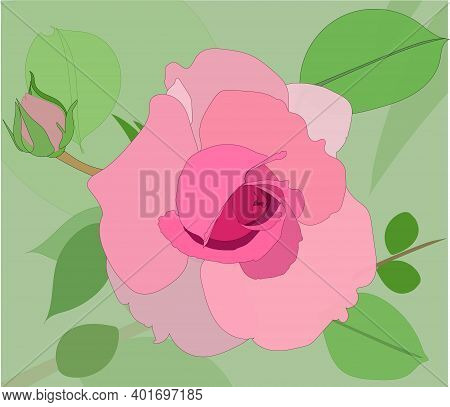 A Beautiful Dusty Pink Rose. Vector Rose. Isolated Image