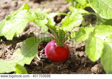 Radish Plant In Sandy Soil, Close Up. Gardening Background With Radish Plants