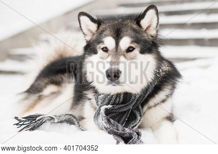 Young Alaskan Malamute Lying In Grey Scarf In Snow. Dog Winter.