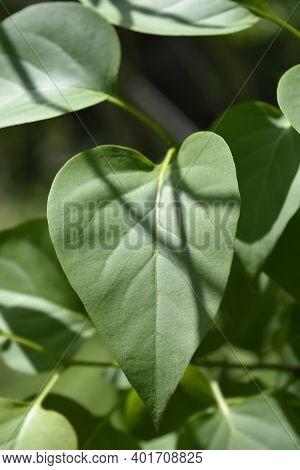 Lilac Madame Lemoine Leaves - Latin Name - Syringa Vulgaris Madame Lemoine