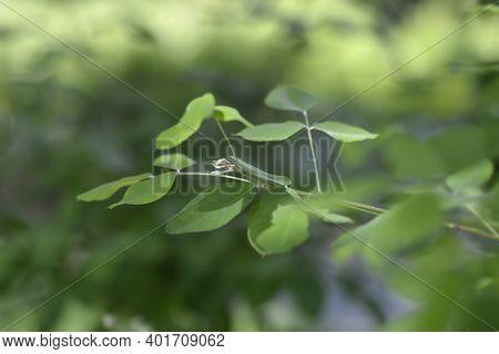 Shrubby Bushclover Leaves - Latin Name - Lespedeza Bicolor