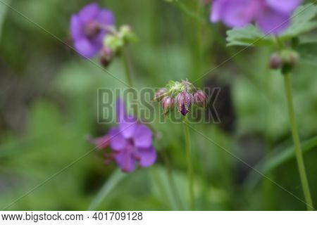 Rock Cranesbill Flower Buds - Latin Name - Geranium Macrorrhizum