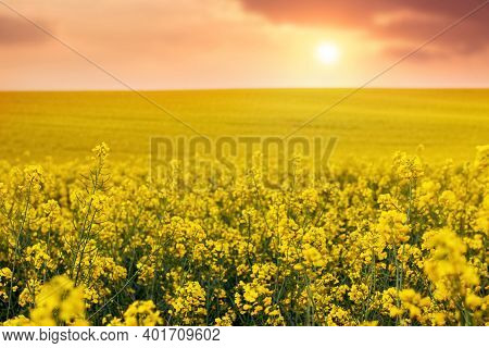 Rapeseed Flowering. Field With Yellow Rapeseed Flowers At Sunset