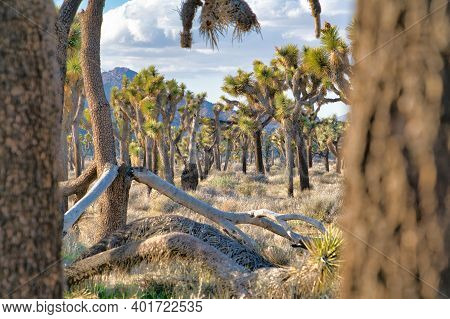 Joshua Tree National Park Landscape Of Grassland With Thriving Joshua Trees