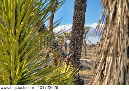 Joshua Tree National Park Grassland With Thriving Joshua Trees In The Desert