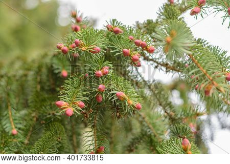 Spruce Cones Growing - Flower Buds Of The Norway Spruce, Close-up