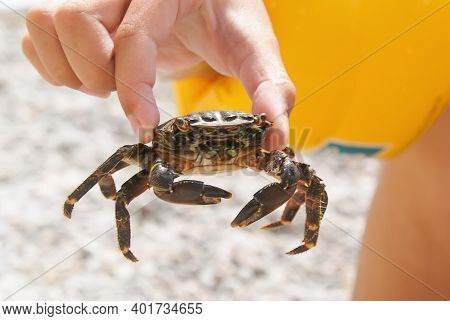 Little Girl Holding A Crab With Her Fingers On The Beach In Summer, Close-up. The Wild Nature Of Cru