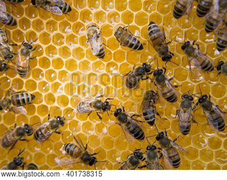 Busy Bees, Close Up View Of The Working Bees On Honeycomb. Bees Close Up Showing Some Animals And Ho