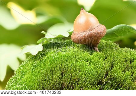 Acorn Of An Oak Tree On A Moss Stone. Isolated On Forest Background. High Resolution Photo. Full Dep