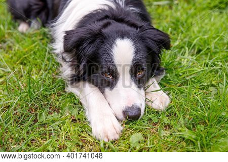 Outdoor Portrait Of Cute Smiling Puppy Border Collie Lying Down On Grass Park Background. Little Dog