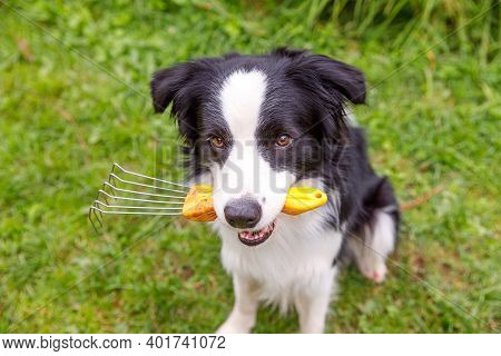 Outdoor Portrait Of Cute Smiling Dog Border Collie Holding Rake On Garden Background. Funny Puppy As