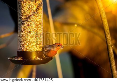 House Finch or haemaorhous mexicanus eating birds food outdoor from bird feeder with sun flare