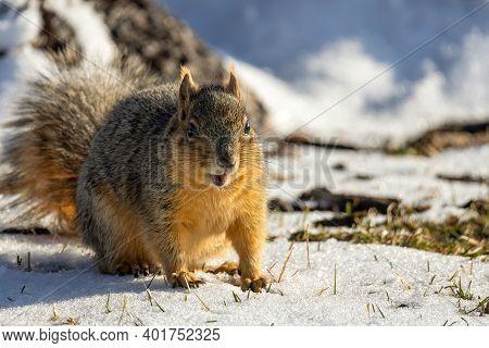 Cute American Red Squirrel (tamiasciurus Hudsonicus) Watchful In The Winter Park