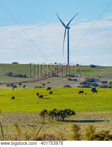 Sheep And Cows Amongst The Wind Farm In Western Australia 200 Kilometres North Of Perth.