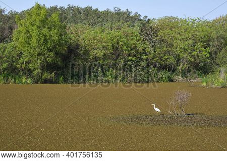 Great Egret, Also Known As Common Egret, Large Egret Or Great White Heron, Ardea Alba, In A Lagoon O