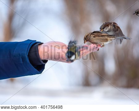 A Man Feeds Sparrows And Tits From His Hand. Sparrows And Tits Take Turns Eating Seeds From A Human