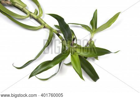 Callisia Fragrans, Known As Basket Plant, Chain Plant, Inch Plant Or Golden Mustache Isolated On Whi