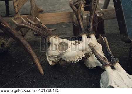 Roe Deer Skulls With Antlers On The Ground. Dark Magic Witch Accessories, Occult Sciences Concept, A