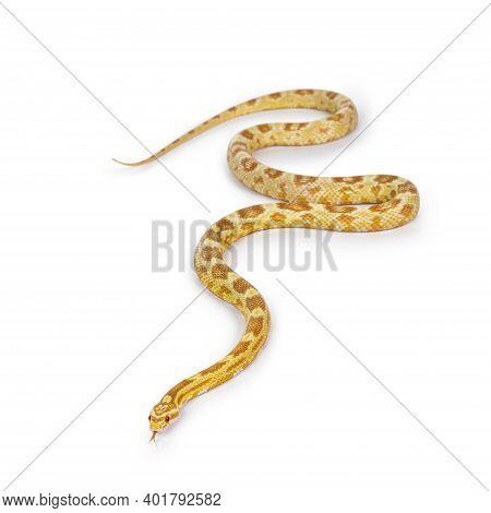 Young Butter Colored Cornsnake Aka Elaphe Guttatus Or Pantherophis Guttatus Snake. Isolated On White