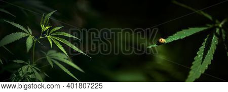 Beetle Hid In Hemp Foliage.bright Insect On A Cannabis Branch.green Leaves Glow In The Sun.the Backl