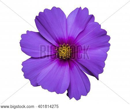 Lilac Flower Of Cosmea Bipinnatus, Cosmos Bipinnatus Isolated And Cut Out Without Background