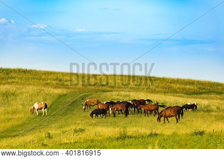 Herd Of Horses Grazing On A Field In Wild. Horses Theme.