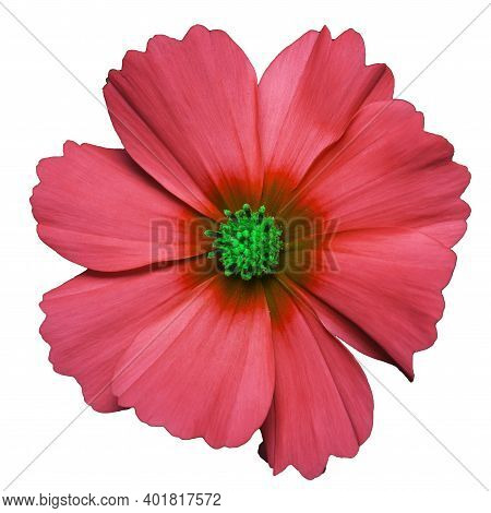 Red Flower Of Cosmea Bipinnatus, Cosmos Bipinnatus, Isolated On A White Background