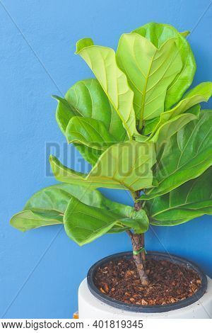 Close Up View Of Fiddle Leaf Fig, Ficus Lyrata With Blue Background.